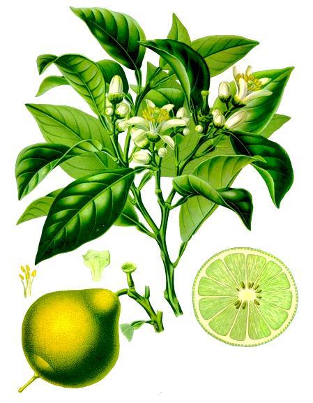 佛手柑的果实就像个小橘子,但是外皮坑坑洼洼,形状呈梨形.图片